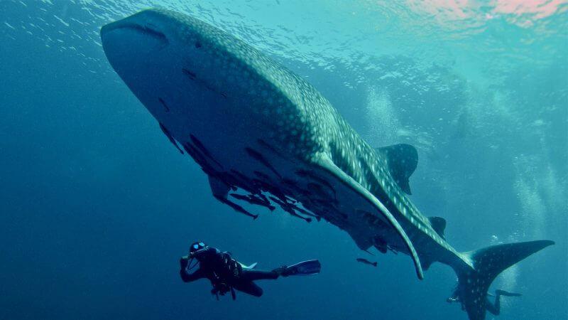 Whale Shark Koh Chang Thailand