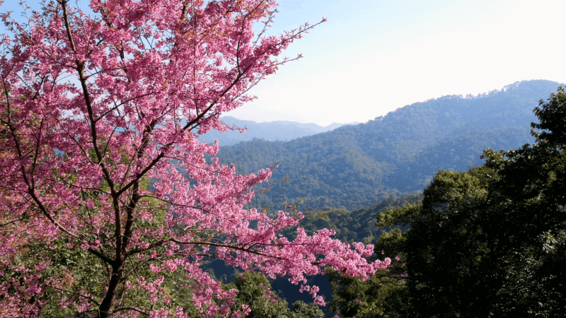 Thailand Sakura Cherry Blossoms