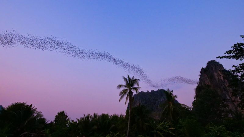 flight of the bats in Phitsanulok